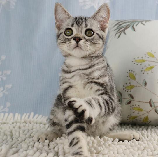银建成猫-美短折耳银虎斑起司猫活体幼猫 燕郊网城